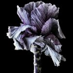 Brassica Still Life Photography Print