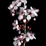 Cherry Blossoms Still Life Photography Print