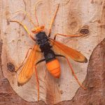 Spider Hunter Wasp, (Pompilid) on Eucalypt Bark
