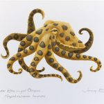 Blue-ringed Octopus – Scientific Illustration