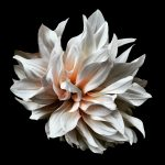 Cream Dahlia Photography Print