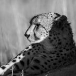 Cheetah  Siesta time at Savuti Marsh Okavango Delta