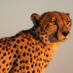 Cheetah  As the sun sets on Savuti Marsh