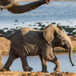 Elephants   Race you to the water hole  Madikwe