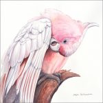 Pretty in Pink – Major Mitchell's Cockatoo