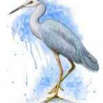 Blue Dream – White-faced Heron
